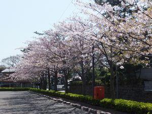 道路桜.jpg